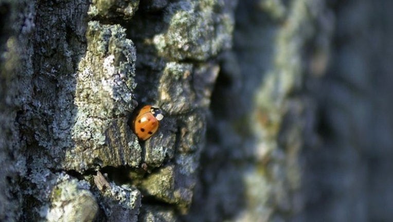 729a4542-GETTY tree with ladybug_1521994346730.png.jpg