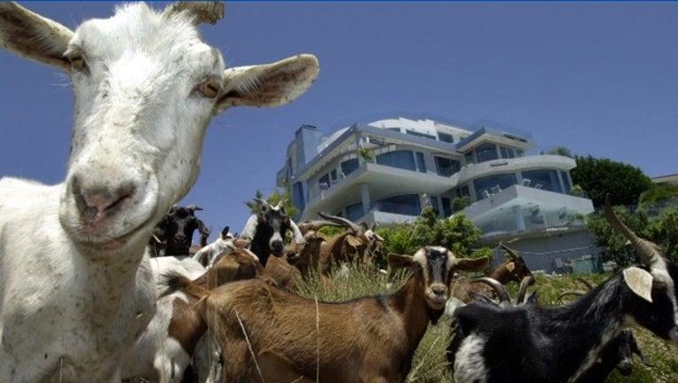 26db4601-Getty goats_1547325200305.PNG-405538.jpg