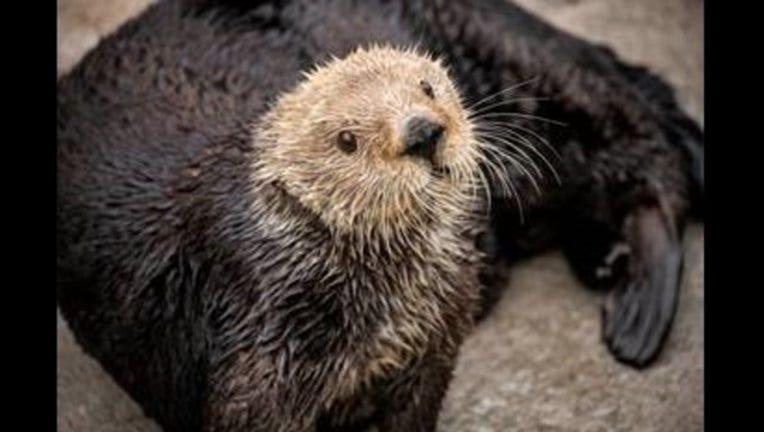 16cd7ab3-Gidget sea otter monterey_1549314801039.jpg-405538.jpg