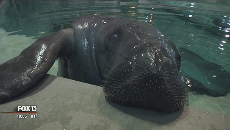 7a95a85e-Snooty__oldest_manatee_in_captivity__die_0_20170724022531-401385