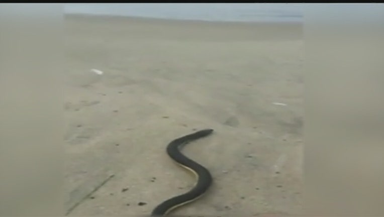 36feabdd-Venomous_sea_snake_spotted_on_SoCal_beac_0_20151018001339-407068
