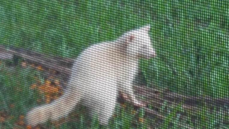 ce105e41-albino racoon3_1473972306683-401385.jpg