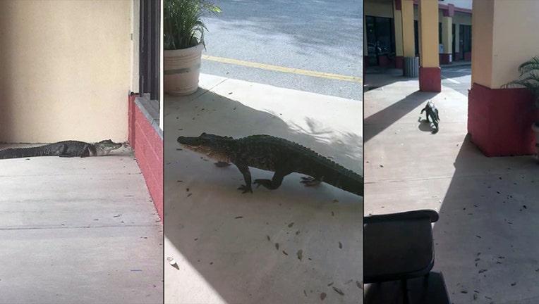 bc832a55-alligator-flagler-beach_1520289952903.jpg
