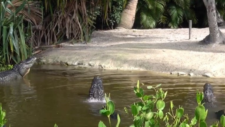 83a82d02-alligators for web_1556716796148.png.jpg