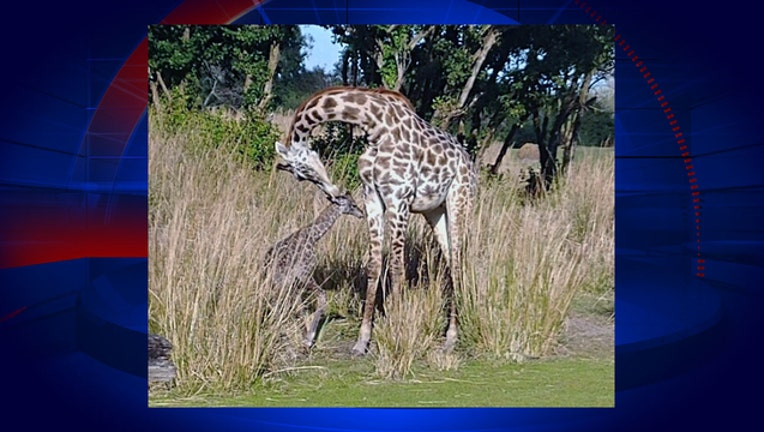 760127d4-animal_kingdom_new_giraffe_1547514527151.jpg