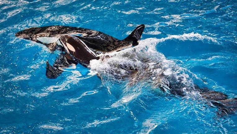 815c9e8f-baby-orca-seaworld-san-antonio_1492657543312.jpg