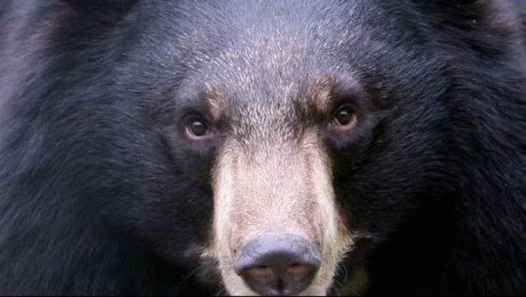 black_bear_file_photo_1538429030415-405538-405538.JPG