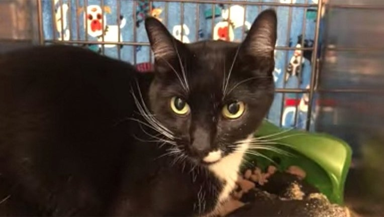 59f118d0-cat-Idaho-Humane-Society_1564260017488.jpg