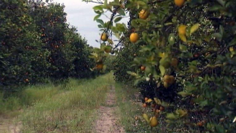 b899cc4b-citrus-oranges_1447129494629.jpg
