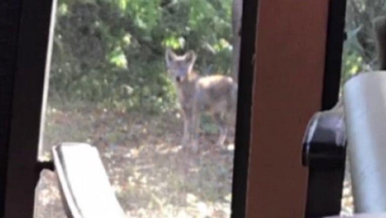 6cdc7bd9-coyote sighting_1520220355974.jpg.jpg