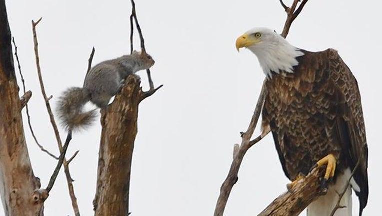 0cf7cfa1-eagle squirrel for web_1552649295999.png.jpg