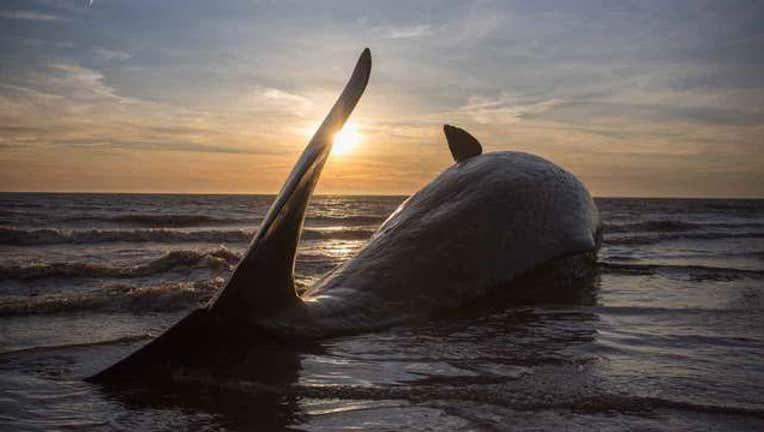 31b6cacc-getty-beached-sperm-whale-112118_1542813604122-65880.jpg