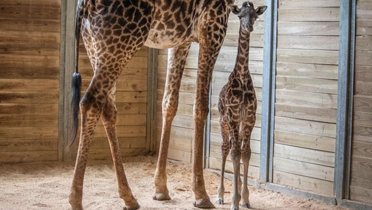 d7ea6841-giraffe-brevard-zoo_1540485176097.jpg