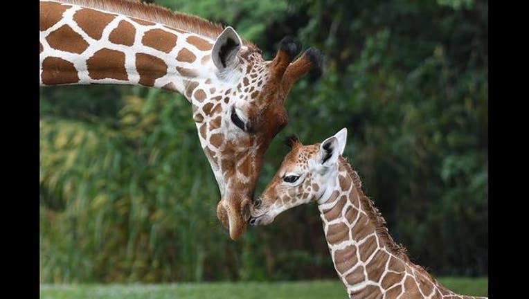d1a00d29-giraffe_1480852951066.jpg