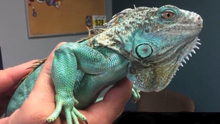 3a4c6cca-iguana-FWC-florida_1562284316950.jpg