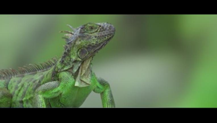 7ee5f405-iguana_1495106288942.png