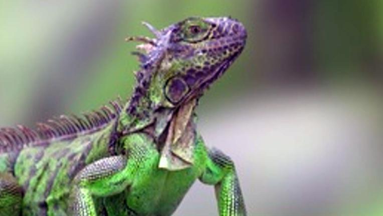 6be42698-iguana_1499134231228.png