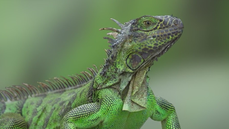 12dc8e6b-iguana_1562164519517.png