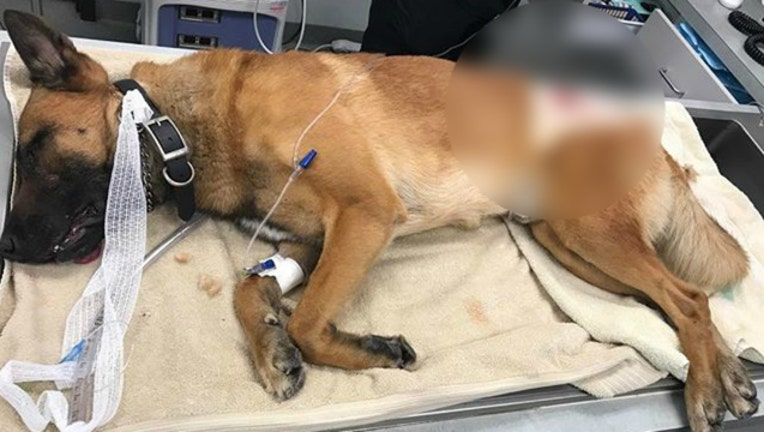 Palm Beach County Sheriff's Office K9 Casper was wounded in the line of duty-404023