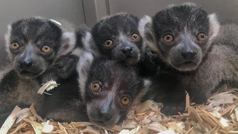 09dcdfb9-lemurs_1559217305379.png