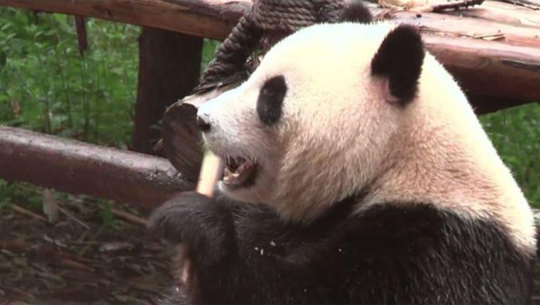 789ef62a-panda-china_1473078857124-402970.jpg