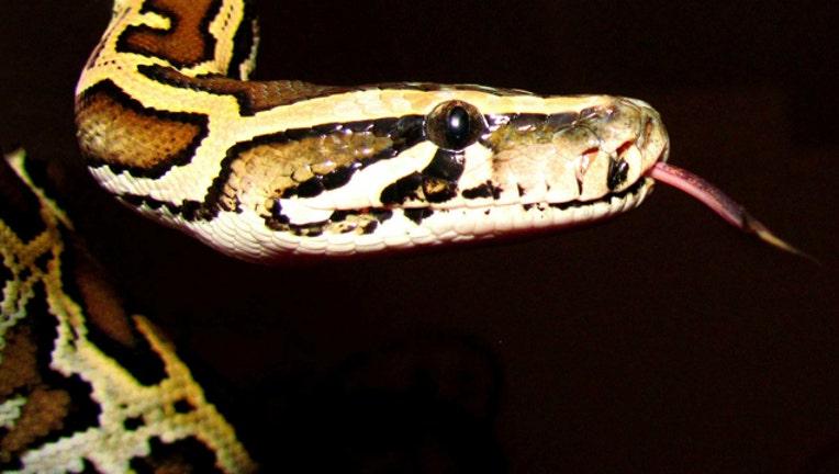 python-snake_1474374477948-404023.jpg