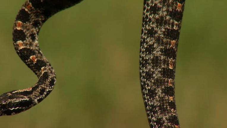6bb2f9f7-rattlesnake_1493162703336.png