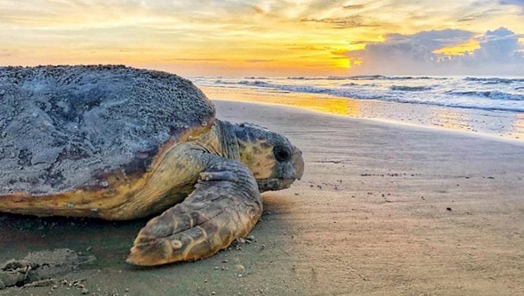 cae90092-sea turtle ga dept natural resources_1563059861017.jpg-401385.jpg