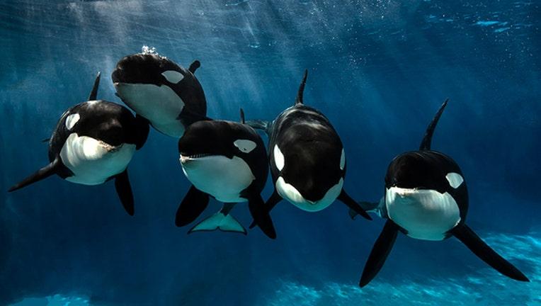 seaworld-san-diego-orcas_1502934556201.jpg