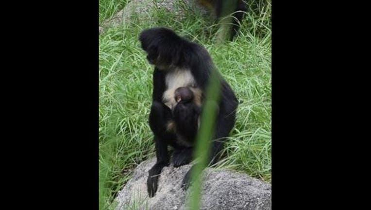 71f6052c-spider monkey_1472463311130.JPG