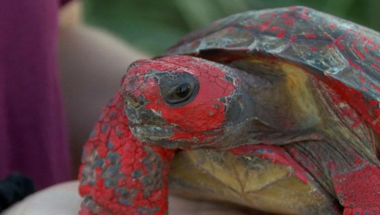dba7b5f2-tortoise-painted-abused_1524106912611.jpg