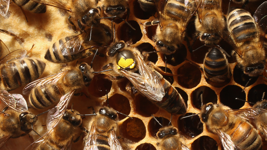 Bees have been declared the most important living thing on earth
