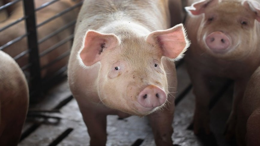 A solution for food waste in schools: Give it to the pigs