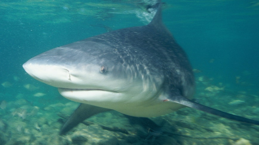 8-year-old catches giant 692-pound tiger shark in Australia