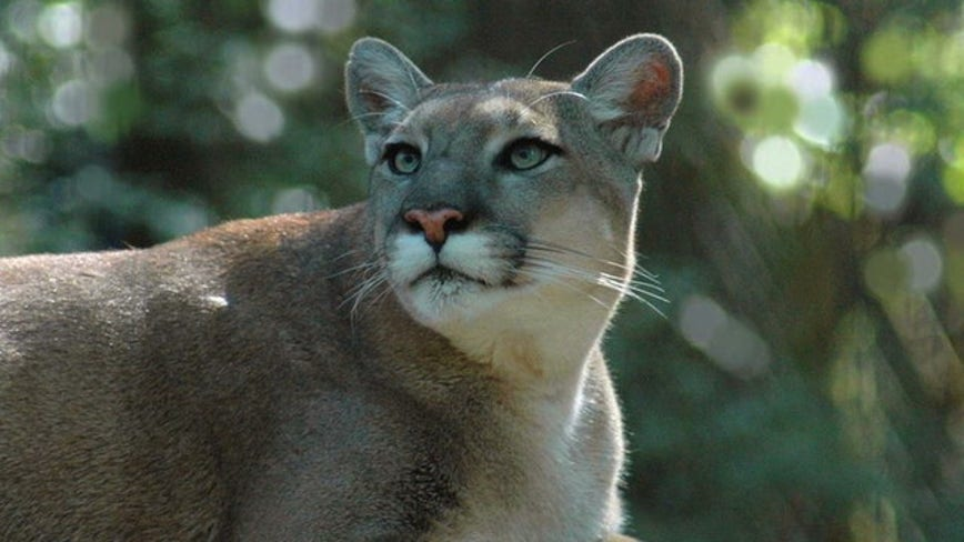 Officials: Endangered Florida panther struck and killed by vehicle