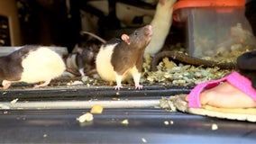 San Diego woman gives up 140 pet rats after population gets out of hand, now ready for adoption