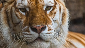 Busch Gardens: 'Bala' the Bengal tiger, known for her unique coloring, passes away