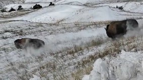 Bison released into territory at Badlands National Park for the first time in nearly 150 years