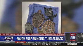 Baby turtles stranded on Brevard County beaches