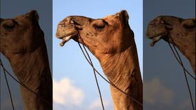 600-pound truck stop camel sits on Florida woman, who then bites its testicles to get free
