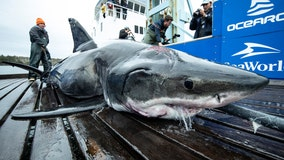 Great white shark bitten during encounters with other sharks in the Atlantic