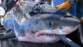 Great white shark that weighs over 2,000 pounds and is over 15-feet long pings off of Florida coast