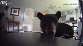 Curious bear enters home while residents were upstairs