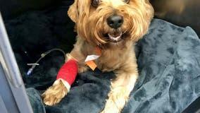 Dog survives after 4-inch BBQ skewer pierces kidney