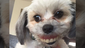 Dog steals owner's dentures, gets hilarious new smile