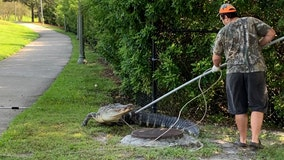 9-foot alligator captured on Brandon sidewalk