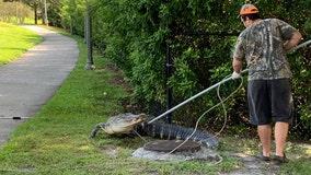 9-foot alligator captured on Brandon sidewalk