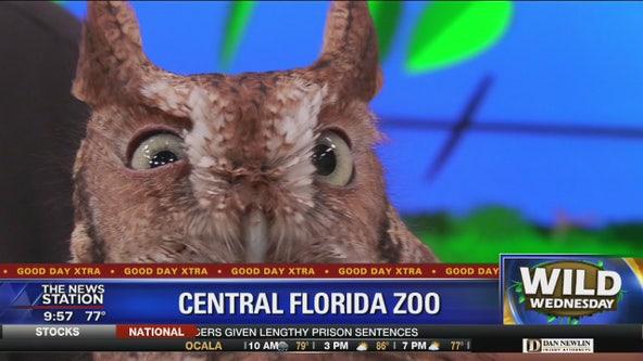 Wild Wednesday: Eastern Screech Owl