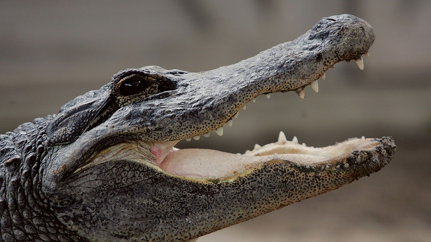 Inmate charged with feeding iguanas to alligator at jail zoo