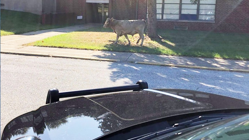 'Could not have made that up': Police officer recounts wild chase of cow named 'Moodini'